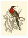 Jardine Hummingbird VI Plakater av Sir William Jardine