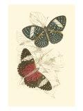 Jardine Butterflies I Poster av Sir William Jardine