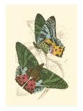 Jardine Butterflies III Posters av Sir William Jardine