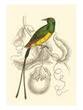 Jardine Hummingbird I Plakater av Sir William Jardine
