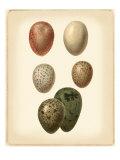 Bird Egg Study VI Affiches