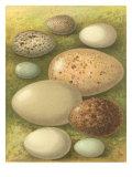 Bird Egg Collection IV Giclée-Premiumdruck