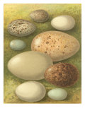 Bird Egg Collection IV Giclée-Druck von  Vision Studio