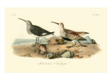 Red-backed Sandpiper Giclee Print by John James Audubon