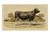 Antique Cow VI Premium Giclee Print by Julian Bien