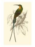 Jardine Hummingbird V Posters av Sir William Jardine