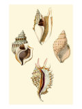 Strombus Shells Premium Giclee Print by Lovell Reeve