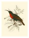 Jardine Hummingbird III Posters av Sir William Jardine