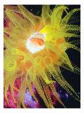 Graphic Sea Anemone II Poster