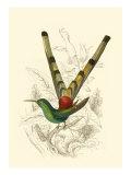 Jardine Hummingbird II Poster av Sir William Jardine