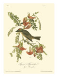 Gobe-mouches Reproduction giclée Premium par John James Audubon