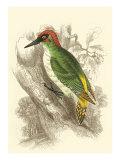 Green Woodpecker Plakat av Sir William Jardine