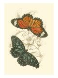 Jardine Butterflies II Posters av Sir William Jardine