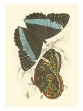 Jardine Butterflies VI Plakater av Sir William Jardine