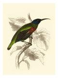 Jardine Hummingbird IV Plakater av Sir William Jardine