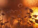 Dusk Daisies Photographic Print by Peter Lilja