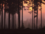 Forest Twilight Photographic Print by Peter Lilja