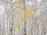 Fall Birch Papier Photo par Andrew Geiger