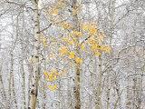 Fall Birch Fotodruck von Andrew Geiger