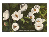 Magnolia, State Flower of Louisiana Poster