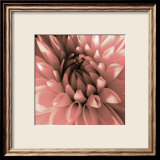 Pink Dahlia Print by Shawn Kapitan