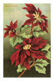 Poinsettia Blossoms, Art Print