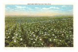 Potato Field, Maine Prints