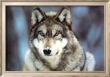 WWF - Grauer Wolf Poster