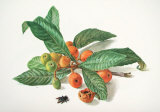Medlar and Fruit Posters by Carlos Von Riefel