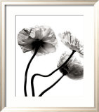 Three Poppies Poster von Stephane De Bourgies