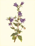 Bellflower Print by Moritz Michael Daffinger