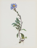 Berg-Sternblume Collectable Print by Moritz Michael Daffinger