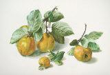 Quitten Kunstdrucke von Carlos Von Riefel