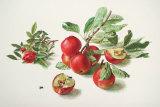 Aepfel und Rose Poster von Carlos Von Riefel
