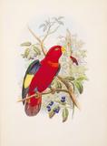 Lorius Tibialis Premium Giclee Print by William Hart