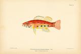 Prionodes Baldwini Premium Giclee Print by A. Poiteau