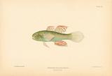 Dormitator Maculatus Premium Giclee Print by A. Poiteau