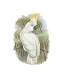 Cacatua Ophthalmica I Premium Giclee Print by William Hart
