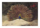 Peacock Premium Giclee Print by Archibald Thorburn