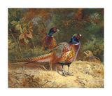 Cock and Hen Pheasants in the Woodlands Reproduction procédé giclée Premium par Archibald Thorburn