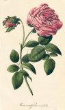 Rosa Centifolia Cristata Giclee-tryk i høj kvalitet af A. Poiteau