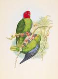Geoffroyius Timorlaoensis Premium Giclee Print by William Hart