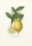 Limonier A Deux Mammelons Premium Giclee Print by A. Poiteau