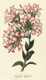 Crafsula Hybrida Giclee-tryk i høj kvalitet af A. Poiteau