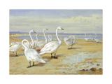 Whooper Swan Premium Giclee Print by Archibald Thorburn