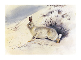 White Hare Premium Giclee Print by Archibald Thorburn