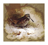 A Woodcock Premium Giclee Print by Archibald Thorburn