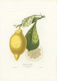 Limonier Almalfi Premium Giclee Print by A. Poiteau