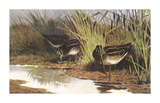 Snipe Premium Giclee Print by Archibald Thorburn