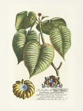 The Duke Of Dorset Botanical Premium Giclee Print by Georg Ehret